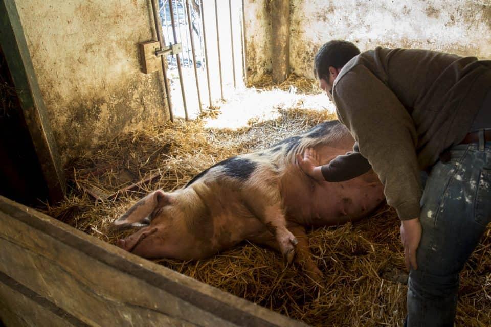 Zuchtsau Erna bekommt im Öko-Betrieb des Lindenhofes regelmäßige Streicheleinheiten von Landwirt Martin Schulze Schleithoff. Foto: LWL/Gehrmann